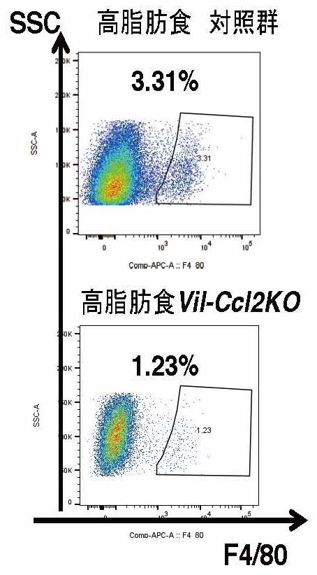 腸管上皮細胞特異的Cc/2 欠損マウスでは脂肪組織における炎症性マクロファージの浸潤が抑えられた