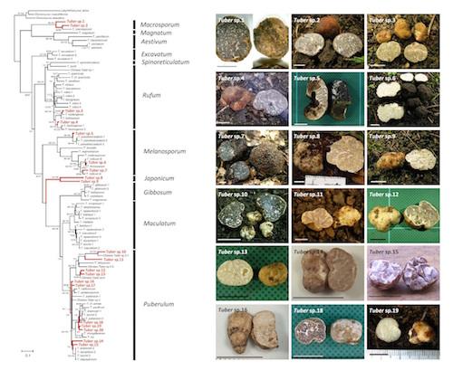 rDNA ITS領域の塩基配列に基づくセイヨウショウロ属(トリュフ)の分子系統樹(左図:赤フォントが日本の種)と日本のトリュフの写真(右図)。 Kinoshita et al. 2011, Mycologia 103:779-794を改変