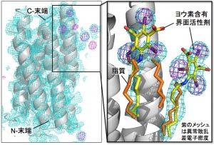 図3 膜タンパク質の位相決定法の開発
