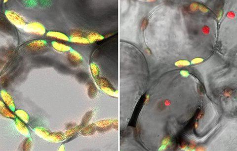 自食作用「オートファジー」の新たな役割 – 壊れた葉緑体は細胞内のリサイクル工場へ