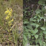 花の咲く時期の違いが新しい種を生む – 秋に咲かなくなったアキノキリンソウの進化学