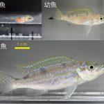 鱗食魚の利きはいつ、どのように獲得されるのか? – 生得的要素と学習効果がカギ