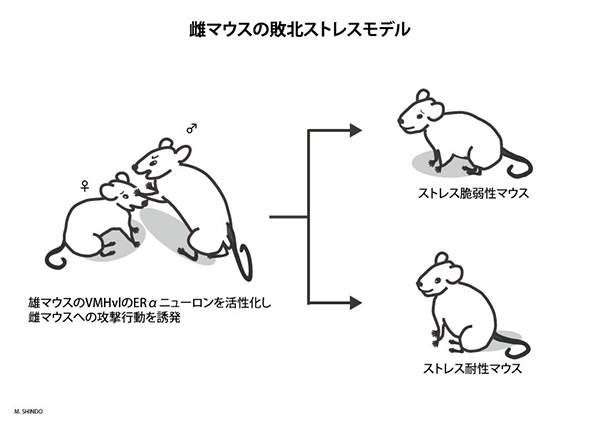 雌マウスの社会的敗北ストレスモ...