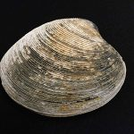 92歳の長生き貝、津波を生き延びていた! – 日本最長寿の二枚貝殻が明らかにする地球環境変動