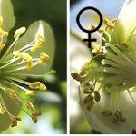 キウイフルーツから探る「植物の性別」の進化
