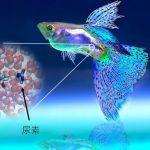 海水魚の浸透圧調整物質は水中で水素結合しない? – 分子シミュレーションと実験から探る