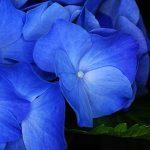 アジサイの青色色素を青色細胞から直接検出!