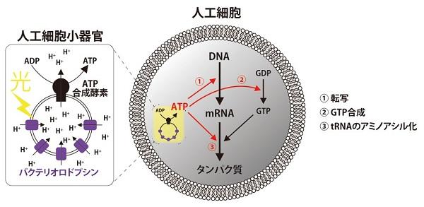 非生命から生命を作れるか? – 光からATPを生産してタンパク質を作る ...