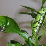 鳥の糞から柑橘類の葉へ – アゲハ幼虫の変身を制御する遺伝子の発見