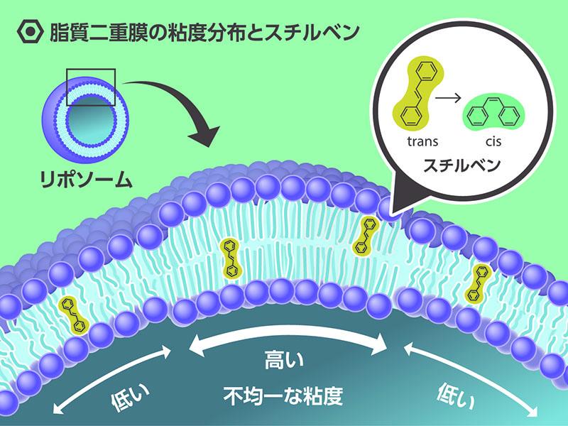 脂質二重膜の分布粘度とスチルベン