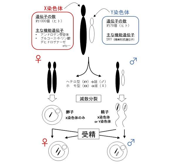 X精子だけがもつタンパク質TLR7/8の発見と、雌雄の簡単な産み分け方法 ...