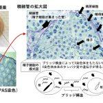 X精子だけがもつタンパク質TLR7/8の発見と、雌雄の簡単な産み分け方法