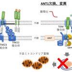 """不良ミトコンドリアを分解する""""マイトファジー"""" の制御因子を発見! – CRISPRによる順遺伝学スクリーニグで迫る"""