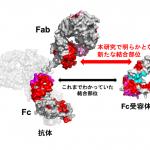 抗体に秘められた結合部位の発見 – 免疫分子の働く姿をリアルタイムで観測!