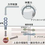 細胞は力刺激を受けると細胞間の接着を強くする? – 力のシグナル伝達による発生制御