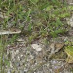 「ヘビににらまれたカエル」の生き残り戦略 – ヘビを引きつけてから逃げることで生残性が高まっている