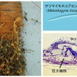 根の成長 vs. ネコブセンチュウ感染防御のトレードオフ – 両者のバランスを最適化する因子