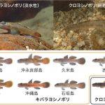 種分化は大きな島で起きやすい – 琉球列島で5回独立に平行進化した「キバラヨシノボリ」から多様化の地理的条件を探る