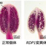 シロイヌナズナの花粉数を制御する遺伝子 – 少ない花粉と生育メリットを両立するカギ