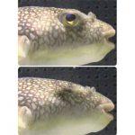 フグはどうやって眼をつむる? 水族館で出会った身近な魚のミステリー